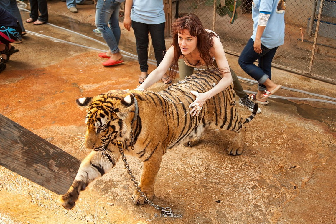 The Buddhist Monks Who Are Mistreating Tigers In Thailand